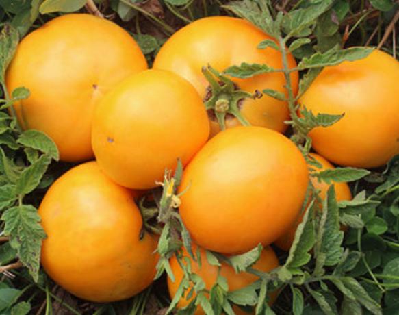 kaalulangus tomat