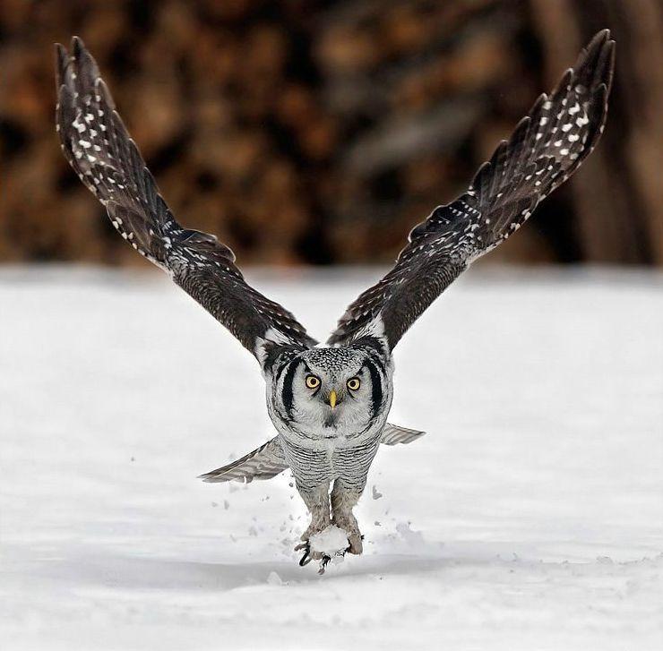 owls kaalulangus tegelik kaalulangus spokane telefoninumber