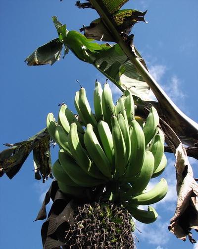 kas banaan on kaalulangus hea key rasva poletamine