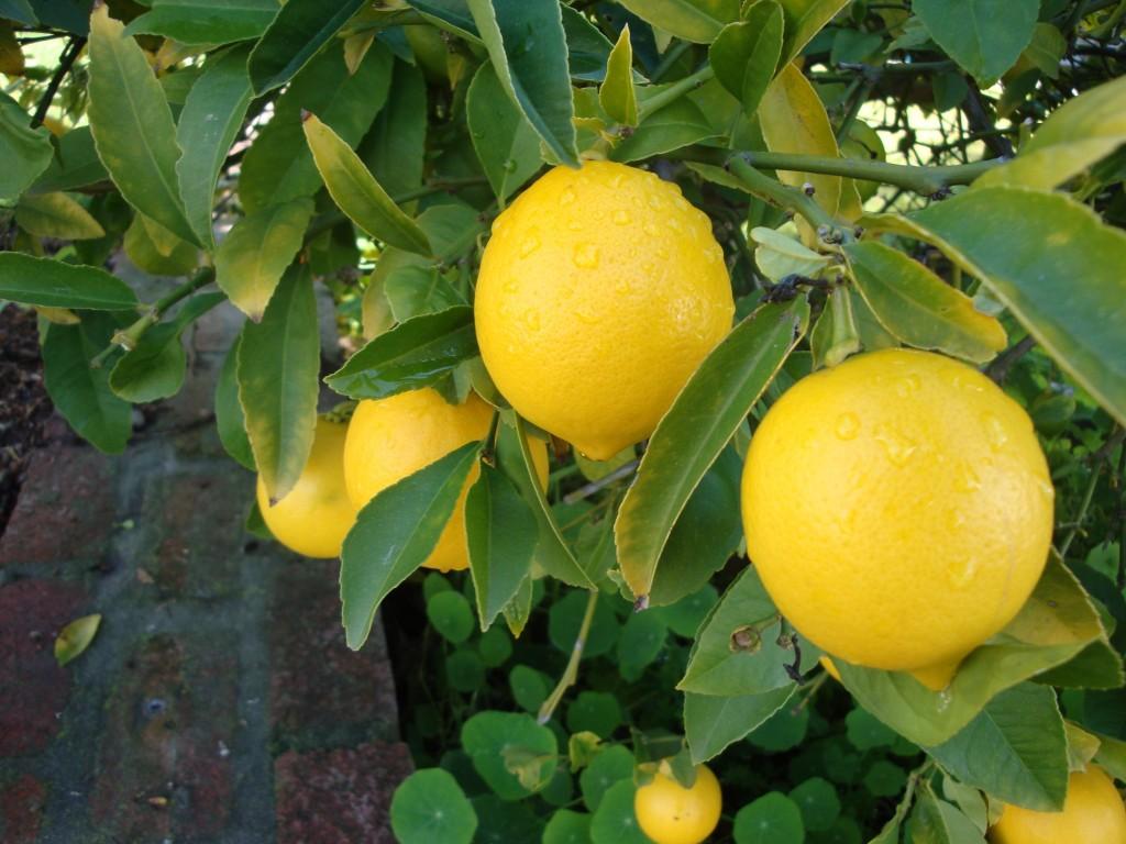 sidruni rasvapoletusomadused valge neerude ubade retsept