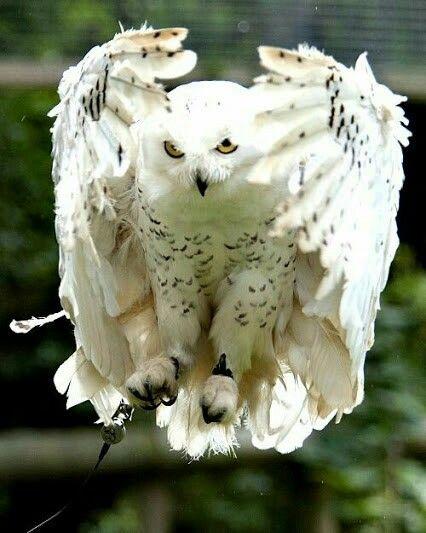 owls kaalulangus kas npp poleb rasva