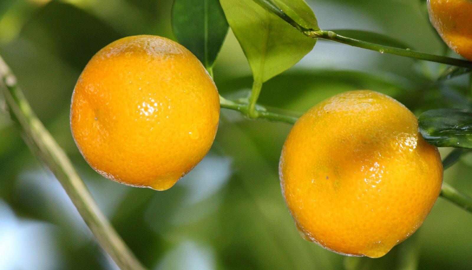sidruni rasvapoletusomadused kaalulangus jumalaga